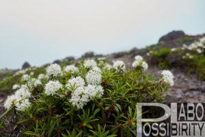 樽前山 高山植物