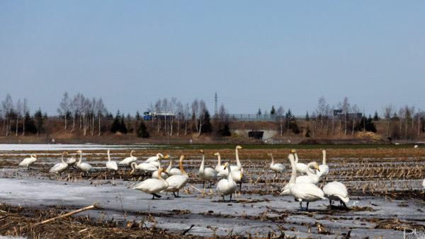 千歳支笏湖観光羽を休める白鳥